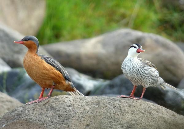 10 animales en peligro de extinción en Venezuela - Pato de torrente (Merganetta armata)