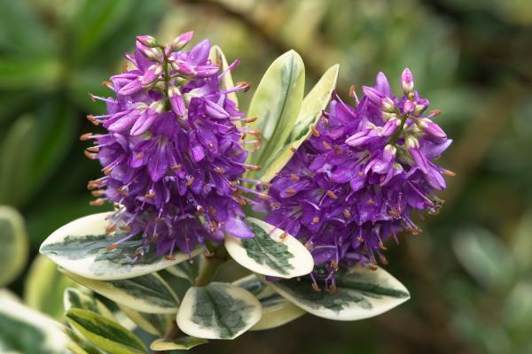 10 plantas de exterior resistentes al frío y a la sombra - Hebe o verónica