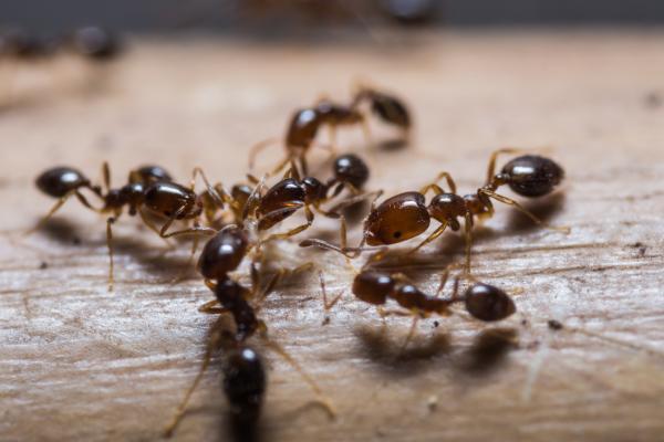 Cómo se comunican las hormigas - Por qué las hormigas se tocan entre sí