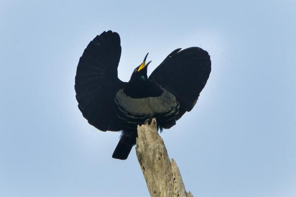 +20 aves australianas: nombres e imágenes - Ave del paraíso de Victoria, una de las paseriformes de Australia
