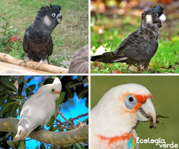 +20 aves australianas: nombres e imágenes - Cacatúas australianas