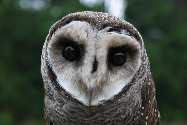+20 aves australianas: nombres e imágenes - Lechuza moteada
