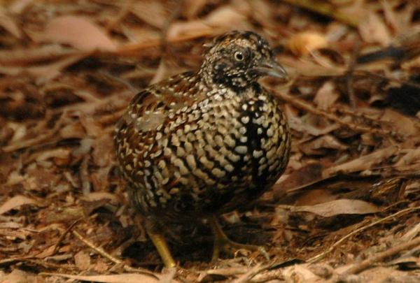 +20 aves australianas: nombres e imágenes - Torillo pechinegro