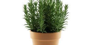 Cómo cuidar la planta de romero en maceta