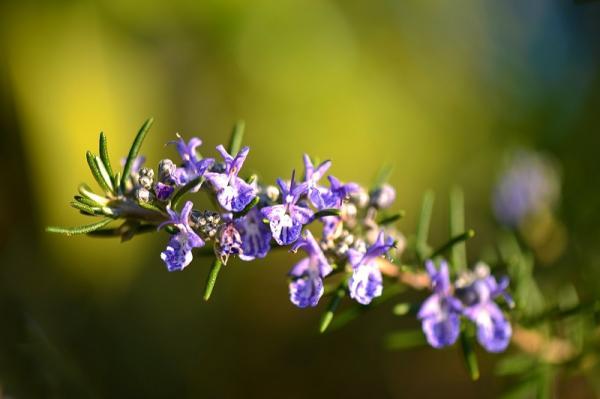 Cómo cuidar la planta de romero en maceta - Cuidados del romero en maceta: luz, temperatura y humedad