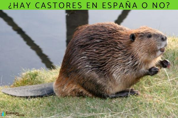 ¿Hay castores en España?