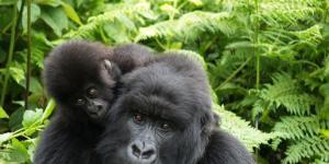 ¿Están los gorilas en peligro de extinción?