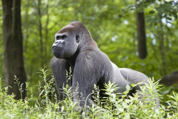 ¿Están los gorilas en peligro de extinción? - ¿Los gorilas están en peligro de extinción o no?
