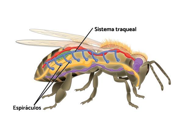Animales con respiración traqueal: ejemplos y nombres - Qué es la respiración traqueal