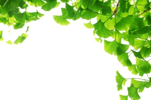 Ginkgo biloba: propiedades, para qué sirve y contraindicaciones - Propiedades del ginkgo biloba