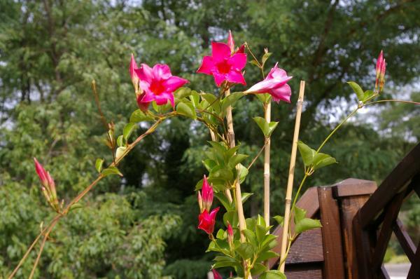Dipladenia o mandevilla: cuidados - Cómo hacer florecer a la dipladenia o mandevilla