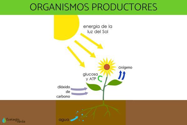Organismos productores: qué son y ejemplos