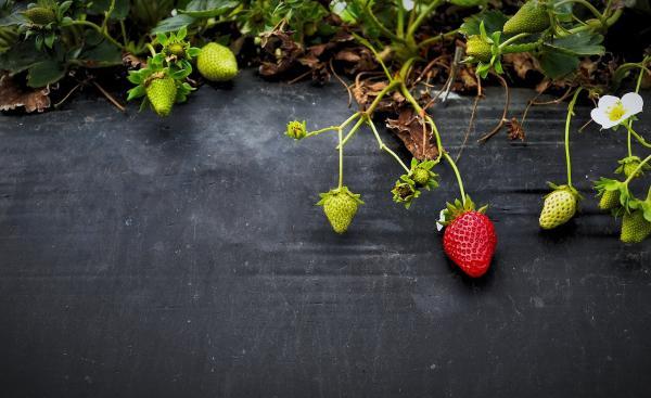 Sembrar y plantar fresas: cuándo y cómo hacerlo - Cuándo y cómo sembrar fresas