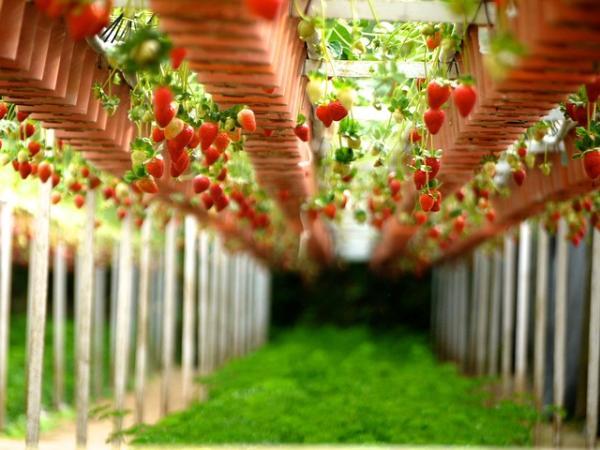 Sembrar y plantar fresas: cuándo y cómo hacerlo - Cultivar fresas - cuidados y consejos