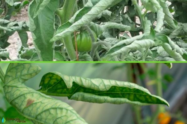 Hojas enrolladas en las plantas: por qué y qué hacer - Herbicidas