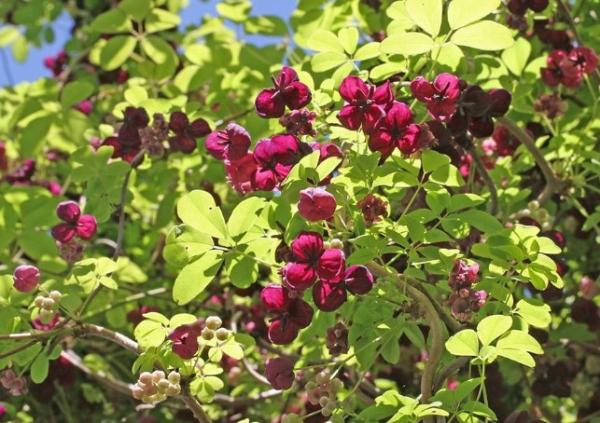 24 plantas trepadoras - Akebia quinata