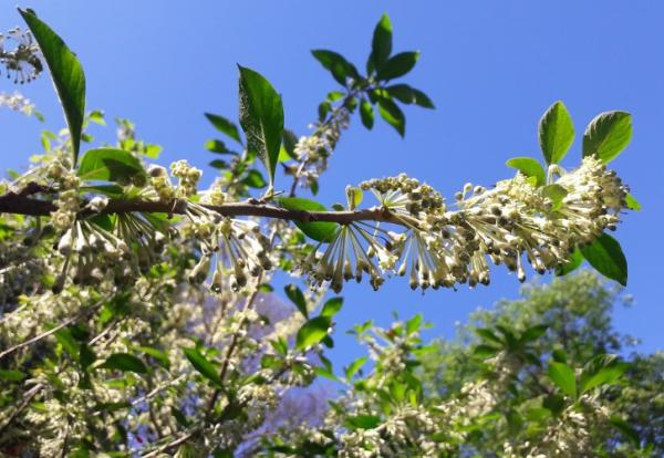24 plantas trepadoras - Dama de noche, una planta trepadora muy aromática
