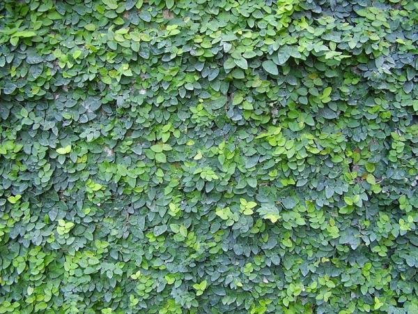 24 plantas trepadoras - Enamorada del muro o Ficus pumila