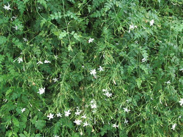 24 plantas trepadoras - Jazmín real arbustivo