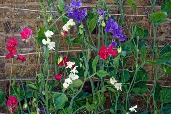 24 plantas trepadoras - Lathyrus odoratus o guisante de flor