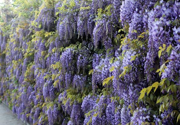 24 plantas trepadoras - Wisteria
