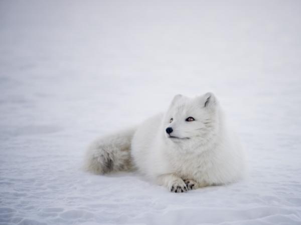 Animales en peligro de extinción del Polo Norte - El zorro ártico (Alopex lagopus)
