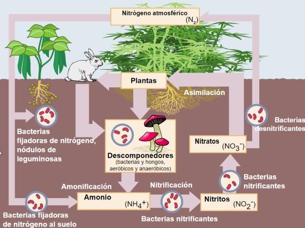 Función del nitrógeno en las plantas y su importancia - Nitrógeno en las plantas: importancia – resumen