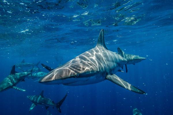 ¿Los tiburones duermen?