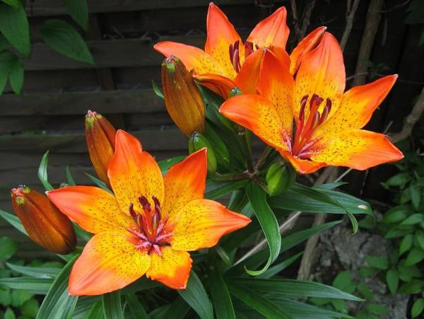Tipos de lirios - Lilium bulbiferum