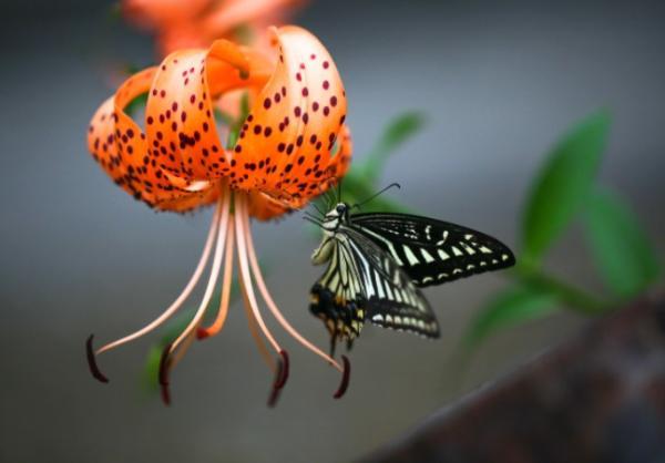 Tipos de lirios - Lilium lancifolium