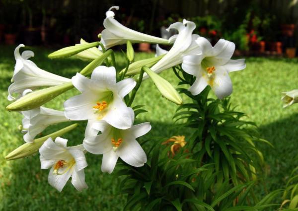 Tipos de lirios - Lilium longiflorum
