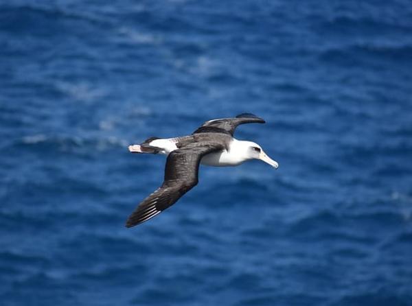 Animales autóctonos de Uruguay - Albatros Real del Norte (Diomedea sanfordi)
