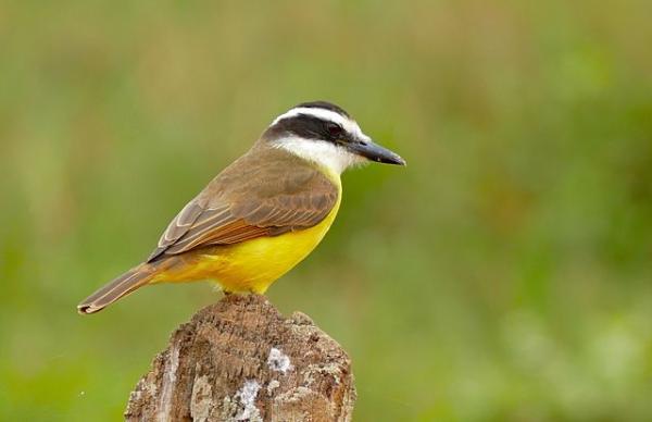 Animales autóctonos de Uruguay - Bienteveo común o pecho amarillo (Pitangus sulphuratus)