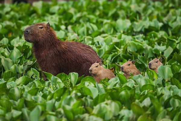 Animales autóctonos de Uruguay - Carpincho, capibara o chigüire (Hydrochoerus hydrochaeris)