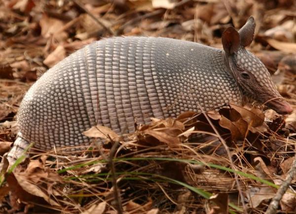 Animales autóctonos de Uruguay - Gualacate o tatú peludo (Euphractus sexcintus flavimanus)