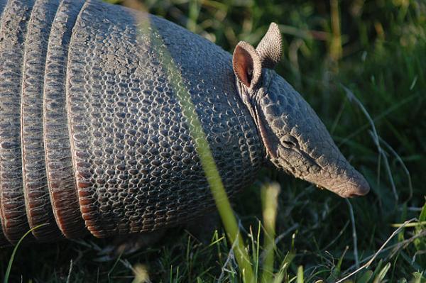 Animales autóctonos de Uruguay - Mulita o armadillo de nariz larga del sur (Dasypus hybridus)