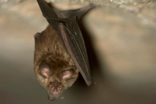Animales autóctonos de Uruguay - Murciélago de cola de ratón (Tadarida brasiliensis)