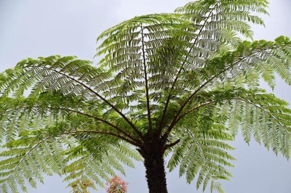 Plantas tropicales de exterior - Balantium antarcticum