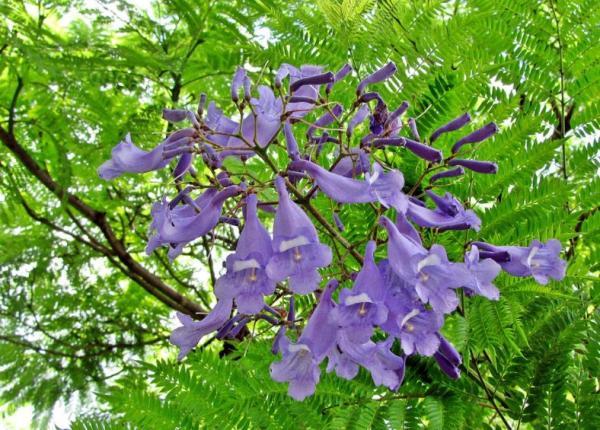 Plantas tropicales de exterior - Jacaranda mimosifolia