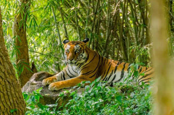 Tigres en peligro de extinción - Cuál es el tigre que está en mayor peligro de extinción