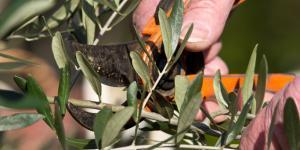 Cuándo podar un olivo y cómo hacerlo