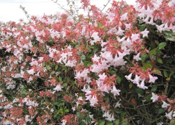 Abelia grandiflora: cuidados - Características de la Abelia grandiflora