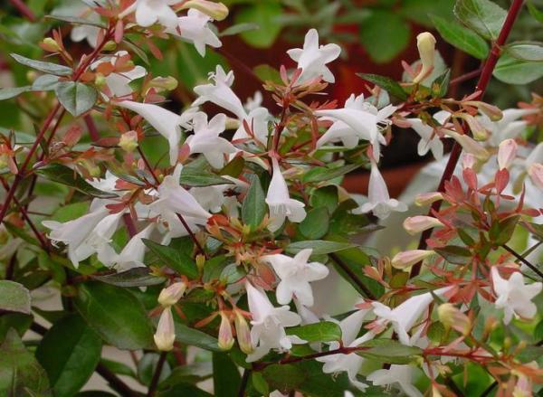 Abelia grandiflora: cuidados - Sustrato y abono para la Abelia grandiflora