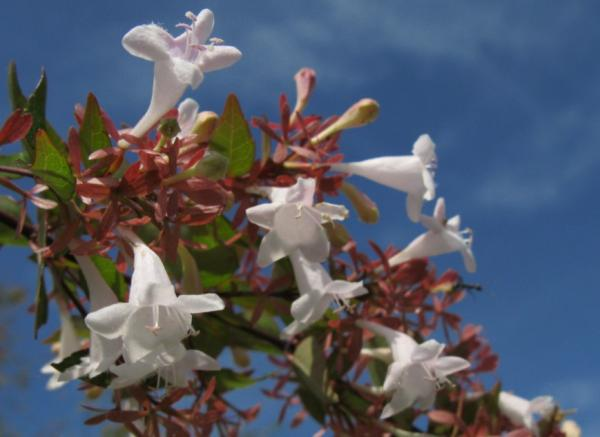 Abelia grandiflora: cuidados - Ubicación y clima para la Abelia grandiflora