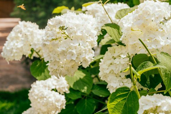 Cómo cambiar el color de las hortensias - Cómo cambiar el color de las hortensias a blanco