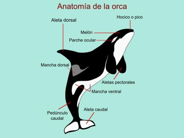 Cómo se clasifican las orcas - Características de las orcas