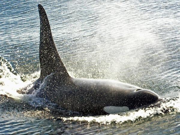 Cómo se clasifican las orcas - Clasificación de las orcas: los 3 grupos