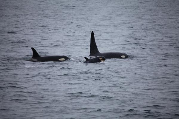 Cómo se clasifican las orcas - Taxonomía de las orcas: clasificación taxonómica