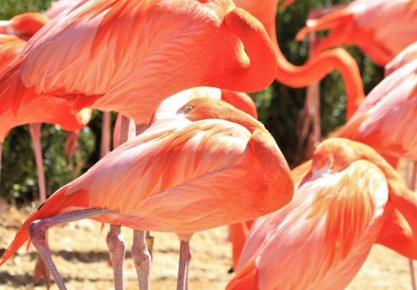 Qué comen los flamencos - Qué comen los flamencos para ser rosados