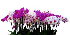 Reproducir orquídeas: cómo hacerlo